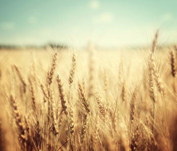 golden-wheat-field-and-sunny-day